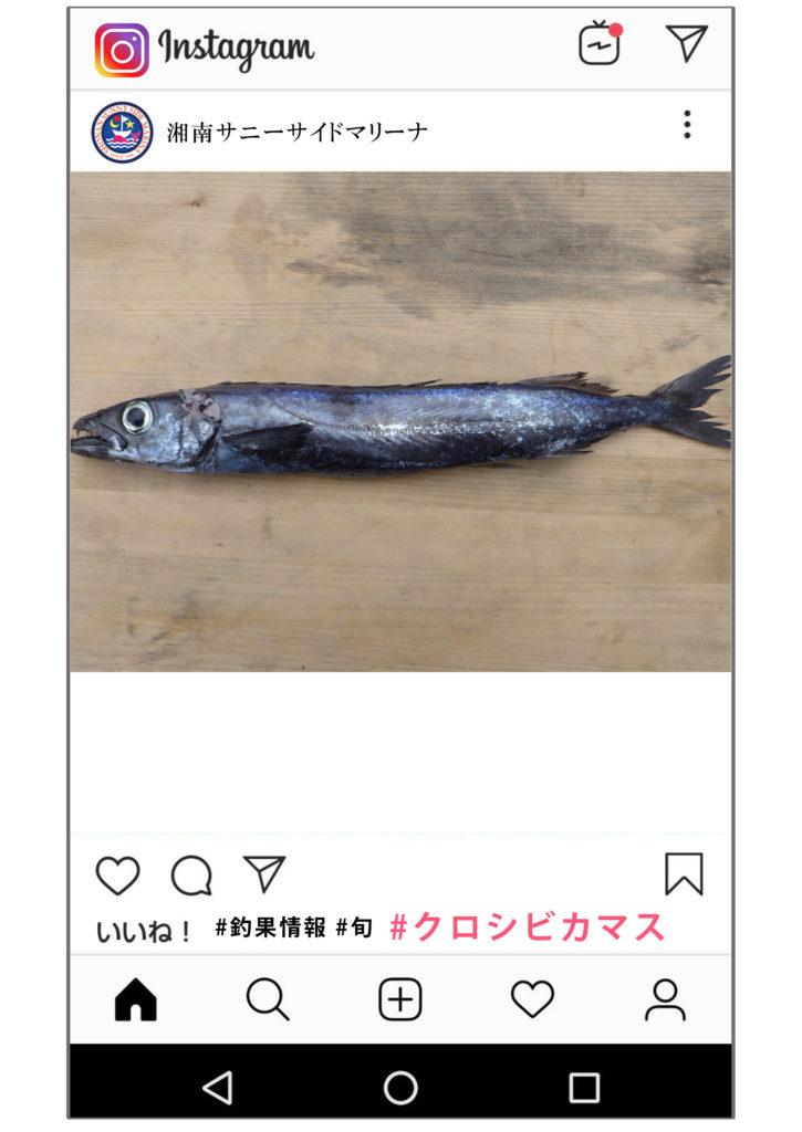 クロシビカマス 釣果