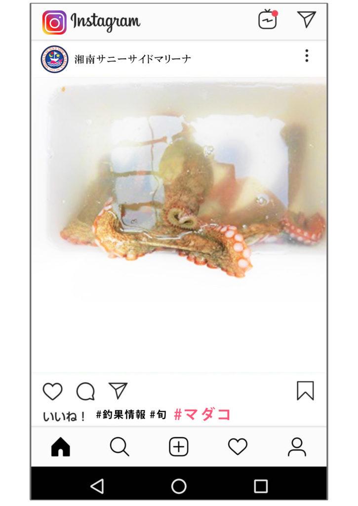 佐島 マダコ